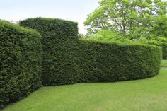 Best Hedges to Plant - Yew                                                                                                                                                                                 More