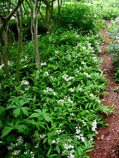Deutzia gracilis 'Nikko' - low growing deciduous shrub for shade with white flowers in April and May. Foliage turns burgundy in fall. Can be used as a ground cover and is deer resistant. (Link has many woody shade plants) Shade Shrubs, Shade Perennials, Shade Plants, Trees And Shrubs, Flowering Shrubs, Garden Shrubs, Shade Garden, Garden Plants, Herb Garden