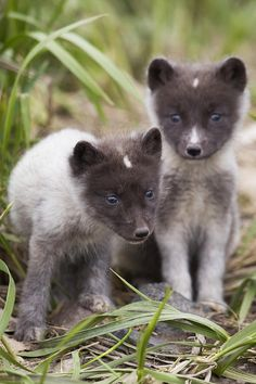 Arctic Fox pups, Saint Paul Island, Pribilof Islands, Bering Sea, Alaska by Mile Burcham