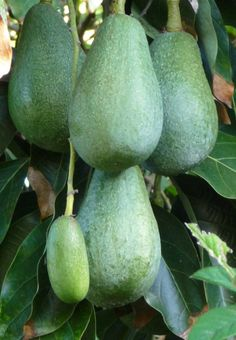 Fuerte-Avocados. The flesh is creamy and the flavor is very good. t has medium-sized, pear-shaped fruit with a green, leathery, easy to peel skin. The skin ripens green.
