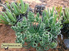 Namaqua Plantjie