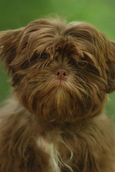 Solid Liver Shih Tzu identical to my Lillie.shes an imperial Beautiful Shih Tzu Puppy, Shih Tzus, Pet Dogs, Dog Cat, Doggies, Cute Puppies, Dogs And Puppies, Yorkshire, Beautiful Dogs