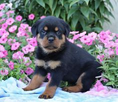 Rottweiler Puppies For Sale, Cute Puppies, Dogs And Puppies, Animals Dog, Cute Animals, Lancaster Puppies, Puppy Names, Mans Best Friend, Puppy Love