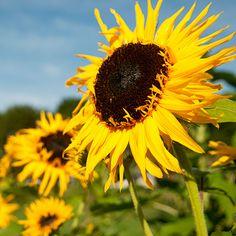 'Frilly' Sunflower: Best of the 2011 Organic Gardening Test Garden