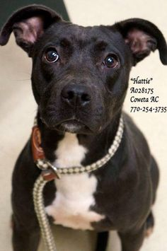 """B-5 EXTREMELY URGENT! *COWETA COUNTY ANIMAL CONTROL, NEWNAN, GA 770-254-3735* Breed: Terrier Mix Sex: SPAYED Female  Age: Adult  Size: Medium  Weight: 27 lbs ID: A028175 Shelter Name: """"Hattie"""" Vaccinated, Heartworm NEGATIVE, Spayed PLEASE CONTACT COWETA COUNTY ANIMAL CONTROL TO ADOPT THIS PET: 770-254-3735. The address is 91 Selt Road, Newnan, GA. """"Hattie"""" is simply a joy! She has the friendliest personality and loves to meet new friends. Oh what a complete and total SWEETHEART"""