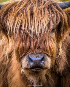 Scottish Highland Cow, Highland Cattle, Cow Pictures, Cute Animal Pictures, Felt Animals, Cute Baby Animals, Water For Elephants, Fluffy Cows, Animals Black And White