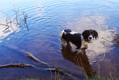 Chick-Chat: Pup In The Park #springer #dog #SpringerSpaniel #water #TattonPark