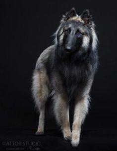Tervueren Belgian shepherd Grey - Power Play av Vikholmen