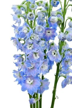 Delphinium Light Blue Wholesale Bulk Flowers (100 stems)