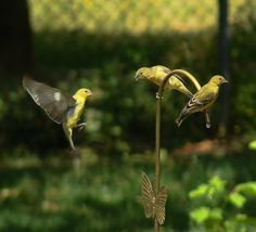Lesser Goldfinches trying to get a drink from the drip line. Goldfinch, Backyard, Bird, Drink, Animals, Patio, Beverage, Animales, Animaux
