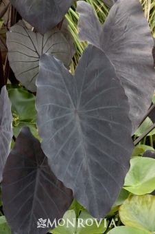 Black Magic Elephant Ear / Colocasia esculenta 'Black Magic' - Maybe in back yard?  Tropical feel.  Filtered sun.  5'-6' tall and wide.