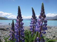 purple flowers, NZ