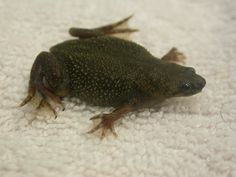 Toad - African Dwarf Toad, Dwarf, Amphibians, African, Animals, Dart Frogs, Animales, Animaux, Dwarfism