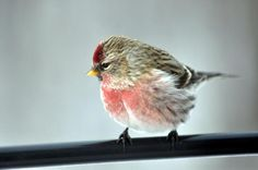 """Birds & Blooms Magazine: """"It's been a very big year for arctic-breeding Common Redpolls to be seen at feeders far south of their usual wintering areas.""""  https://sphotos-a.xx.fbcdn.net/hphotos-ash4/387514_10151447024438251_1055011633_n.jpg"""