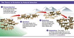 Today we dove a little deeper into Darwin's idea of natural selection. He had 4 steps he believed had to occur for evolution to occur. Natural Selection, The Selection, How The Universe Works, Modern World History, Theory Of Evolution, Industrial Revolution, Environmental Issues, Survival, Teaching