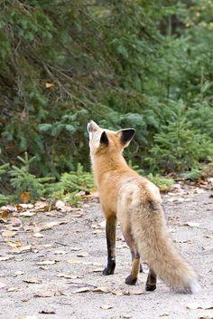 Algonquin Park - Red Fox ~ Ontario, Canada ~ Same little fox