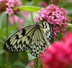 Butterfly ღ¸