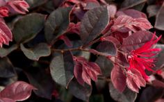 Yet another great new introduction from the Southern Living Plant Collection, Purple Daydream™ is a dwarf Loropetalum that grows in a dense spreading mound to only 2 to 3 feet in height with a spread of 3-4 feet.