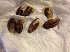 How to Grow a Medjool Date Palm From Seed