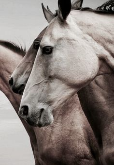 It's a crisp morning here and our horses love it! Shall we pin horses? Most Beautiful Animals, Beautiful Horses, Beautiful Creatures, Zebras, Animals And Pets, Cute Animals, Le Zoo, Majestic Horse, All The Pretty Horses