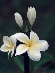 Close View of a Delicated Plumeria Flower, Hawaii Photographic Print by Ira Block - AllPosters.ca