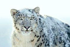 Snow Leopard Expedition >>>#Wildlife #Leh #HimachalPradesh