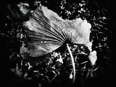 black and white photography, nature photography, flowers, art, home decor, wall art,