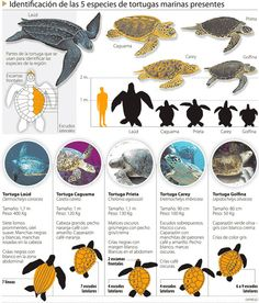 Like img - Showing > Especies De Tortugas Marinas