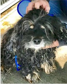 """12/19/16 At the San Bernardino City Shelter, a five-year-old, blind Cocker spaniel is in need of emergency help. She is very frightened in her kennel as she waits so cold and alone; the blind pup described as running into the kennel cage walls. The staff and volunteers agree she is just precious and call her """"the giver …"""