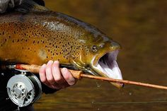 Trout by Boatbrother