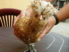 Buff Laced Polish - My Pet Chicken