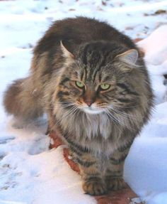siberian cat:  Looks exactly Like Natasha, My  female Siberian Forest Cat.  The other one, Boris, is Deep Orange!