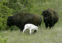 Albinismo Bufali - In this photo provided by the National Buffalo Museum, a second white bison calf has been born in a herd on the edge of Jamestown, N. Amazing Animals, Unusual Animals, Animals Beautiful, Cute Baby Animals, Animals And Pets, Odd Animals, White Bison, Melanistic Animals, Rare Albino Animals