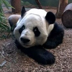 And our #ZAFanFriday Facebook pic of the week for October 25 captures a beguiling look from our favorite papa bear, Yang Yang ... courtesy of Erin C.
