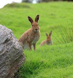 The wild hares of Ireland