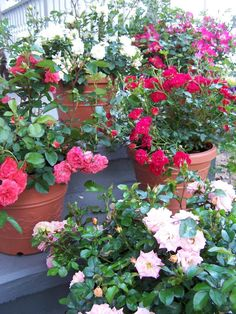 Plant Hassle-Free Roses Now
