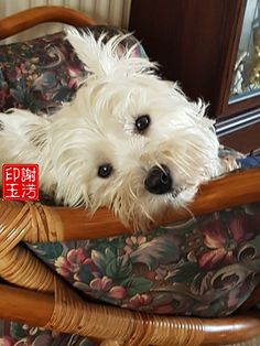 West highland white terrier is so cute