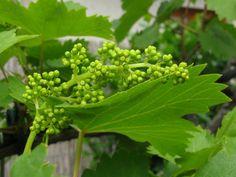 Miért ritkítsuk a szőlő fiatal fürtjeit? | Hobbikert.hu