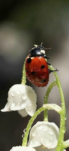 Water droplets on ladybug and lily of the valley