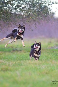 Love the sideways leaping Shiba