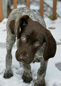 German pointer puppy.. G gives me this face when he doesn't get his way!