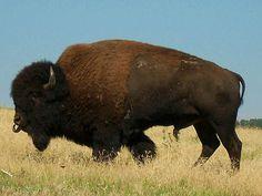 Male Buffalo | Flickr - Photo Sharing!