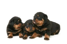colorful pictures of rotties | Baby Rottweilers