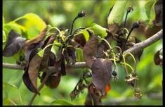 What is fire blight? Fire blight is a contagious, systemic, bacterial disease and is prevalent on apple and pear trees during cool, wet springs. Bacterial Diseases, Plant Diseases, Pear Trees, Fruit Trees, Garden Trees, Lawn And Garden, Bradford Pear Tree, Plant Pathology, Organic Gardening Tips