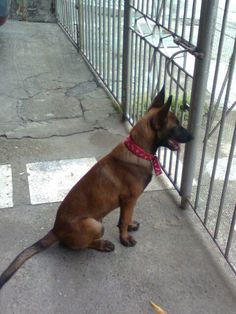 Looking at someone across the road. Belgium Malinois, Belgian Malinois Dog, Belgian Shepherd, Shepherd Dog, Best Mate, Schaefer, Military Police, Working Dogs, Beautiful Dogs