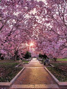 cherry blossom walk at haupt garden, washington D.C.