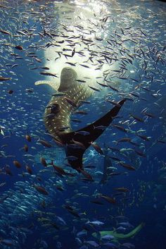 Whale shark and marine life in the blue. Orcas, Beautiful Creatures, Animals Beautiful, Fauna Marina, Underwater Life, Ocean Creatures, Sea And Ocean, Ocean Ocean, Sea World