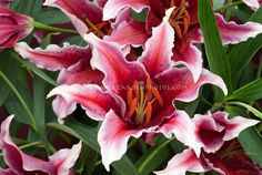 Red And White Lilies | Red & white lily Lilium Sumatra