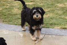 Labradoodles of Montana is dedicated to the breeding and the sale of miniature/medium australian labradoodles. See our website to see what puppies are for sale. Miniature Australian Labradoodle, Labradoodles, New Puppy, Montana, Puppies, Black, Black People, All Black, Puppys