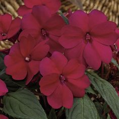 BEGONIA Non-Stop Pink Improved   Full Shade Annuals ...
